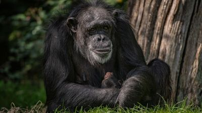 040920 Critically endangered baby chimpanzee born at Chester Zoo - Chester Zoo