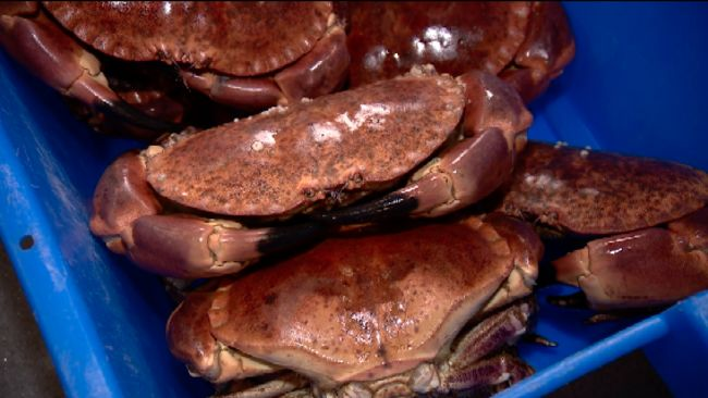 Picture of brown crabs taken from an ITV Channel package which TX'd on 18/8/2021.