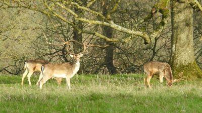 Deer at Dyrham Park near Bath. Credit Sarah Fox