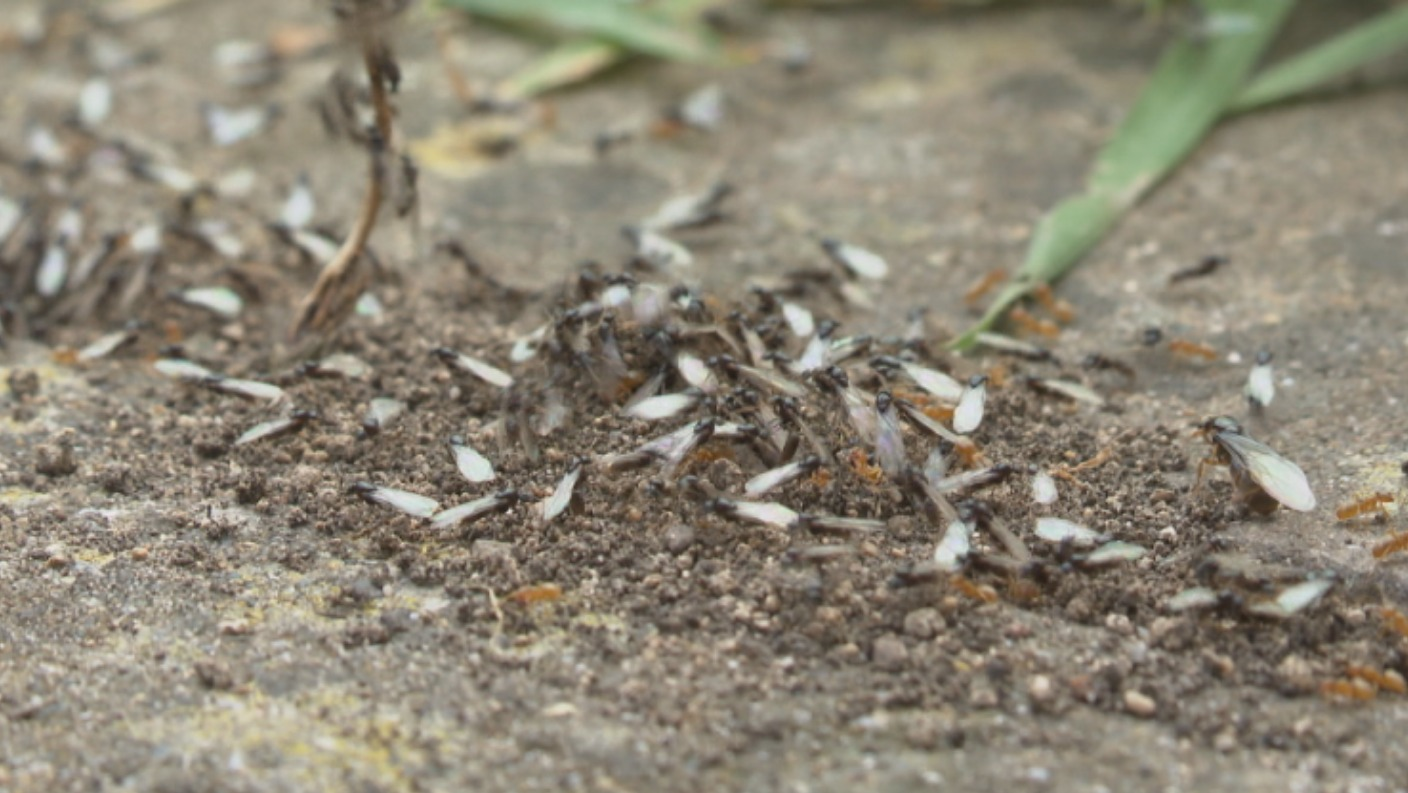 Flying Ant Day Swarms Spotted In The South West West Country Itv News