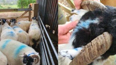 Stolen sheep North Yorkshire tyne tees