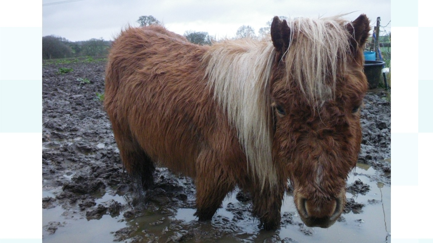 West Country rescue pony found abandoned is now star of RSPCA's