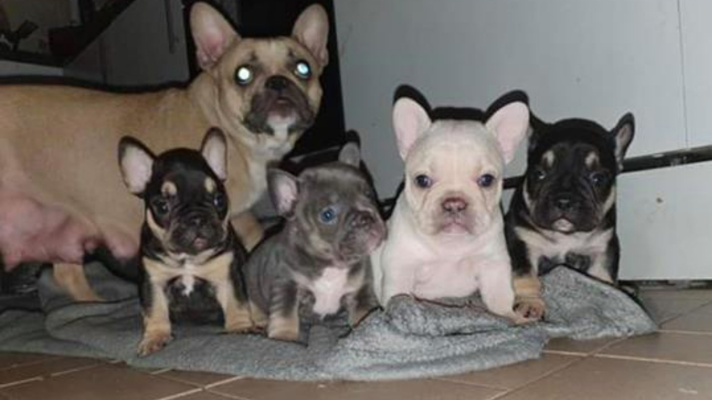 Litter Of French Bulldog Puppies Stolen From Their Mother In Burglary Wales Itv News