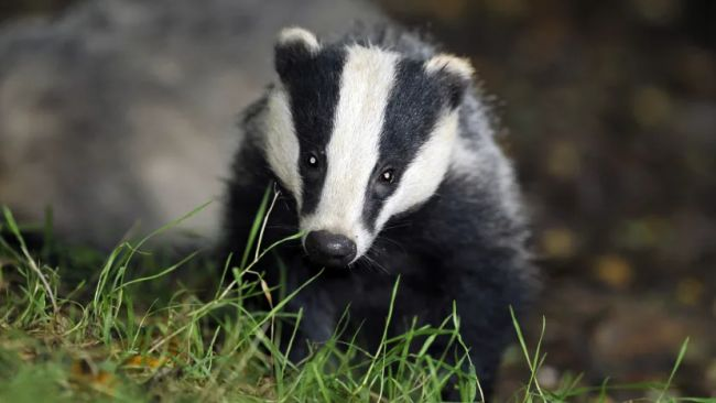 70,000 badgers could be killed in England this year.