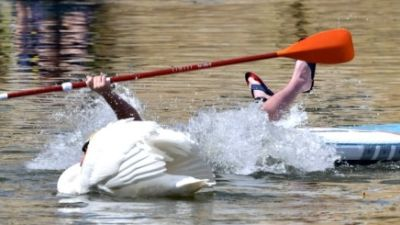 04-05-21 Paddl boarder falls into a river after Swan encounter- Alan Benson