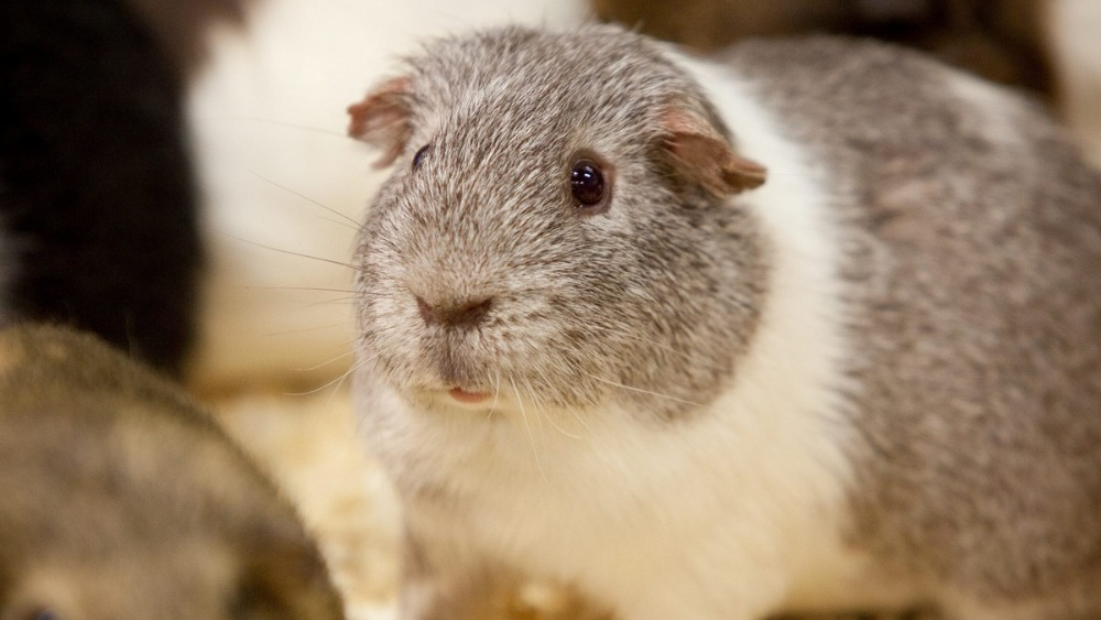 Guinea pig to become father to 400 after breaking into female enclosure |  ITV News