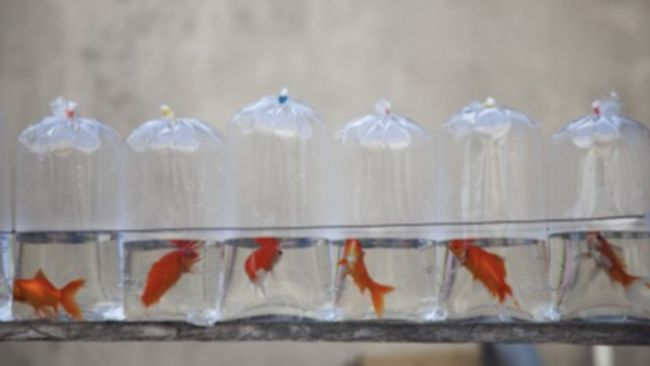 Live goldfish in bags on display