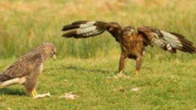 A buzzard pair