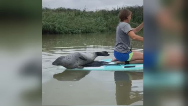 A group of paddle boarders were surprised when a seal swan onto their boards.