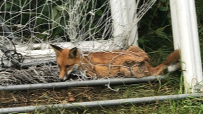 The fox was spotted caught in a football net at the University of Gloucestershire
