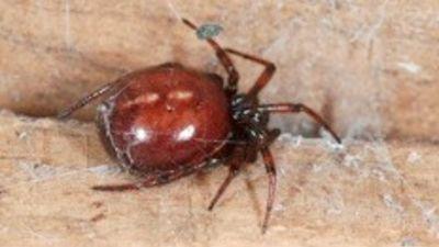 How Dangerous Are False Widow Spiders Tyne Tees Itv News