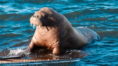 wally the walrus tenby credit @exposurebusiness