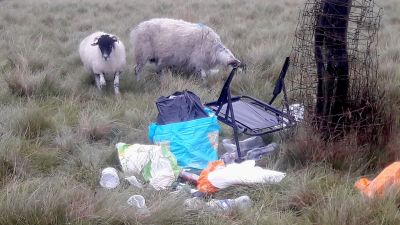 Two sheep around litter in National Trust park - Fly-camping