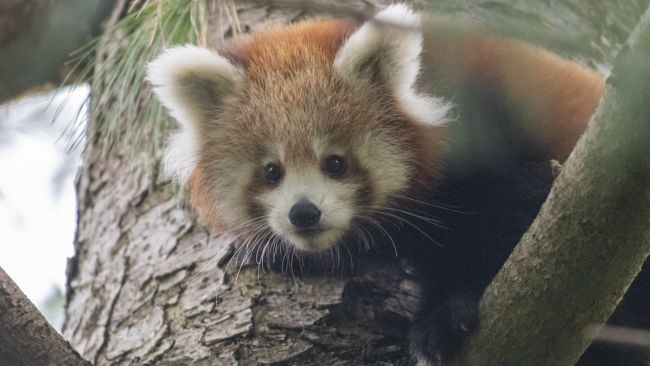 Panda cubs Paignton Zoo
