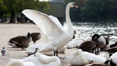 Swans killed by bird flu on Ulverston canal.  Stock image of swans