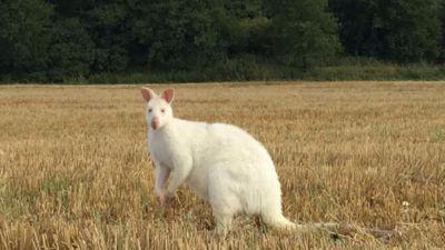 Northamptonshire Farmer Finds White Wallaby Dead In Grandfather S Field Anglia Itv News