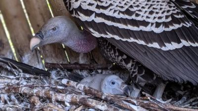 A vulture chick has been hatched at Banham Zoo