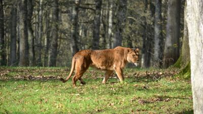 Nikita lion dies Dartmoor Zoo - credit Devon Live