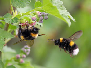 Two bumblebees in a flower.