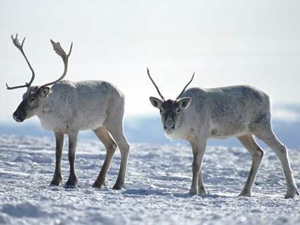 Caribou (reindeer) in snow near Goose Bay, Labrador, Canada.