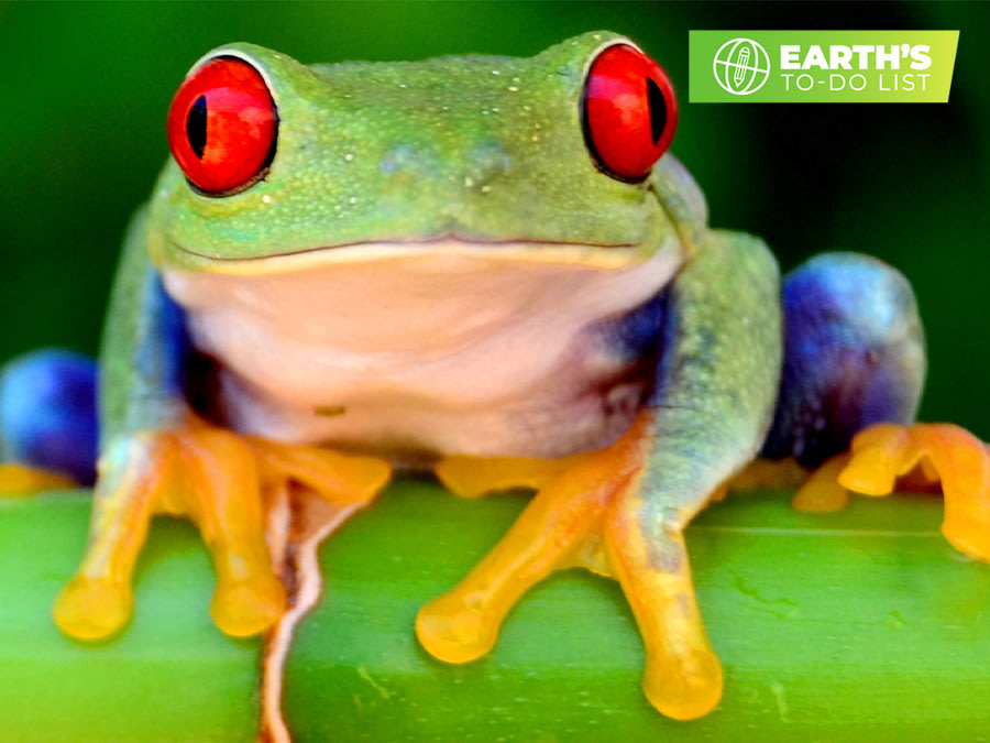 A red-eyed tree frog (Agalychnis callidryas) sitting on a branch.