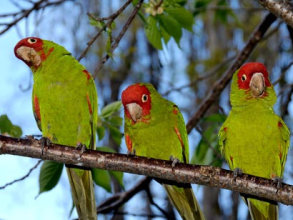 Feral red-masked parakeets, or conures (Aratinga erythrogenys), on a tree in San Francisco.