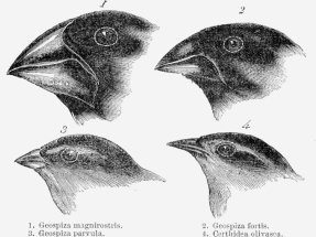 A sketch of four species of finches observed by British naturalist Charles Darwin made during his visit to the Galapagos Islands. Beak length and robustness varied between species, which supported the idea that each species evolved to exploit different habitats and food sources.