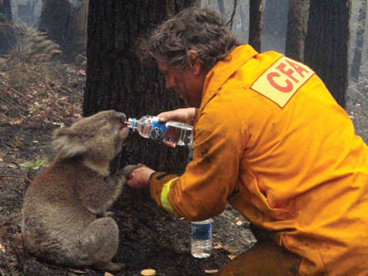 koala drinking from a water bottle after bushfires in victoria, australia, 2009