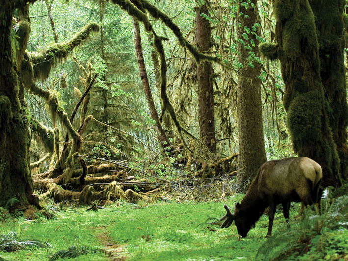 A Roosevelt elk (Cervus canadensis roosevelti) grazes in the Hoh Rainforest in Olympic National Park.