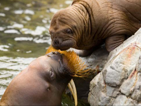 walrus and pup