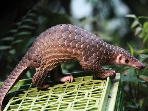A poached pangolin being freed after Indonesian authorities shut down a smuggling operation in Sumatra in 2015. In 2016 all eight species of pangolins were placed under the highest level of protection of the Convention on International Trade in Endangered Species.