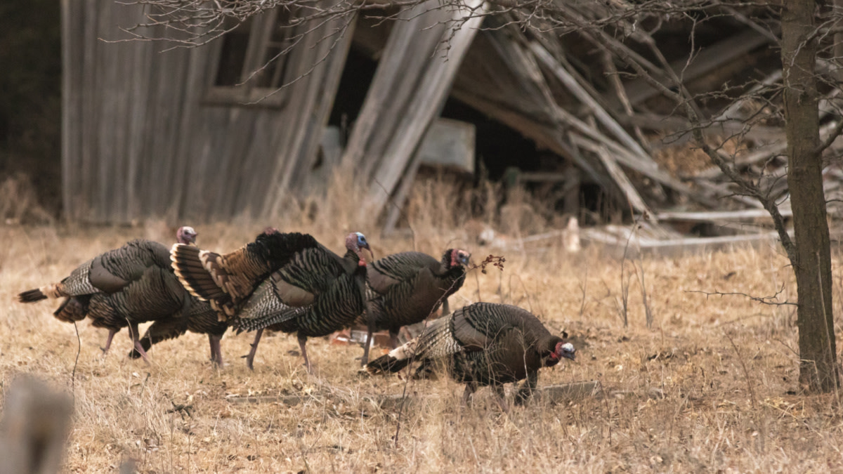 How to Turkey Hunt Small Properties