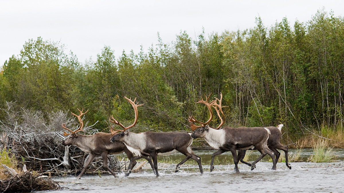 A Guide to Hunting Caribou