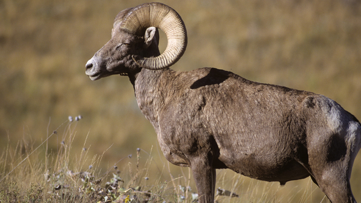 A Guide to Hunting Bighorn Sheep