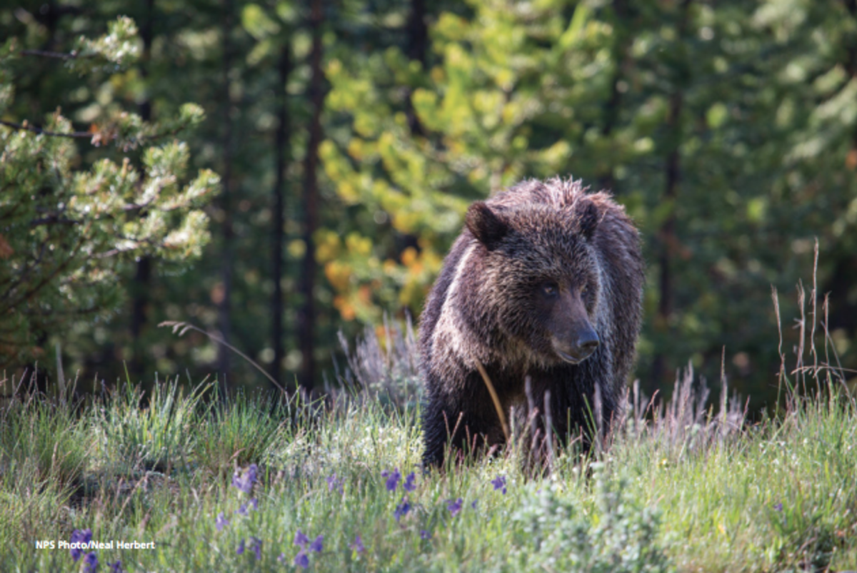 Wyoming Grizzly Hunt Update: Judge Rules Against Delisting Bears