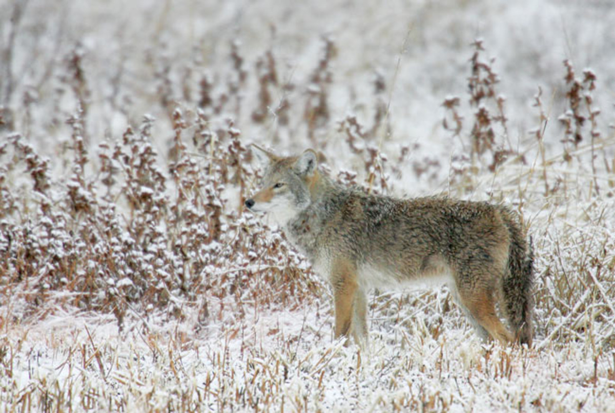 Man Strangles Coyote to Death in New Hampshire