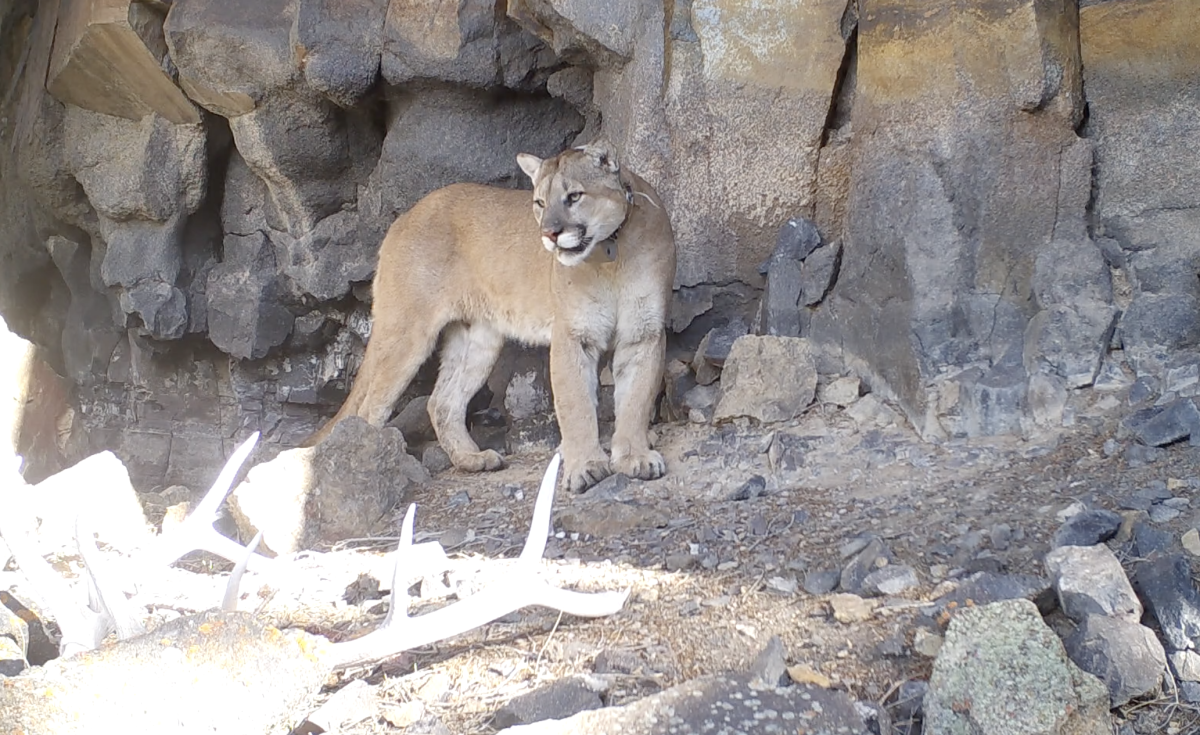 17 Kills in Two Months: A Cougar's Summer Diet in Yellowstone National Park