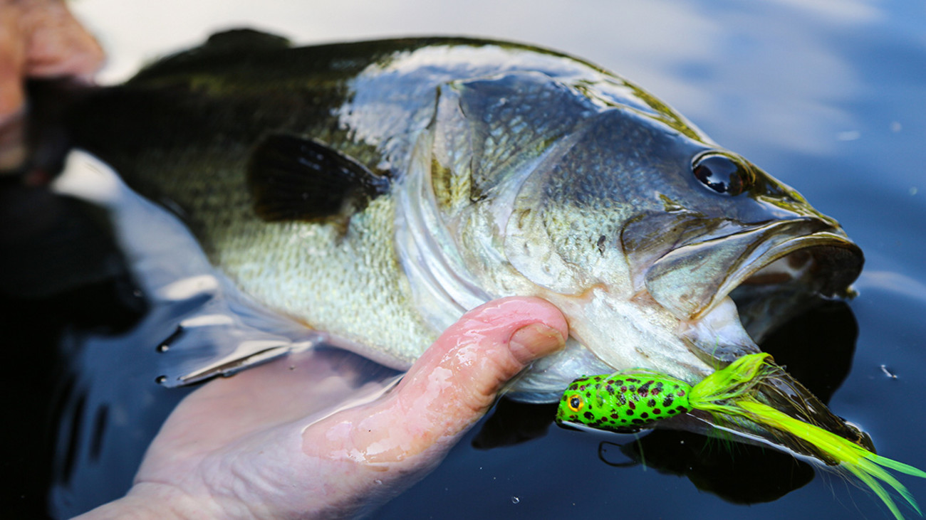 Savior of the Dog Days: Summertime Topwater Bass