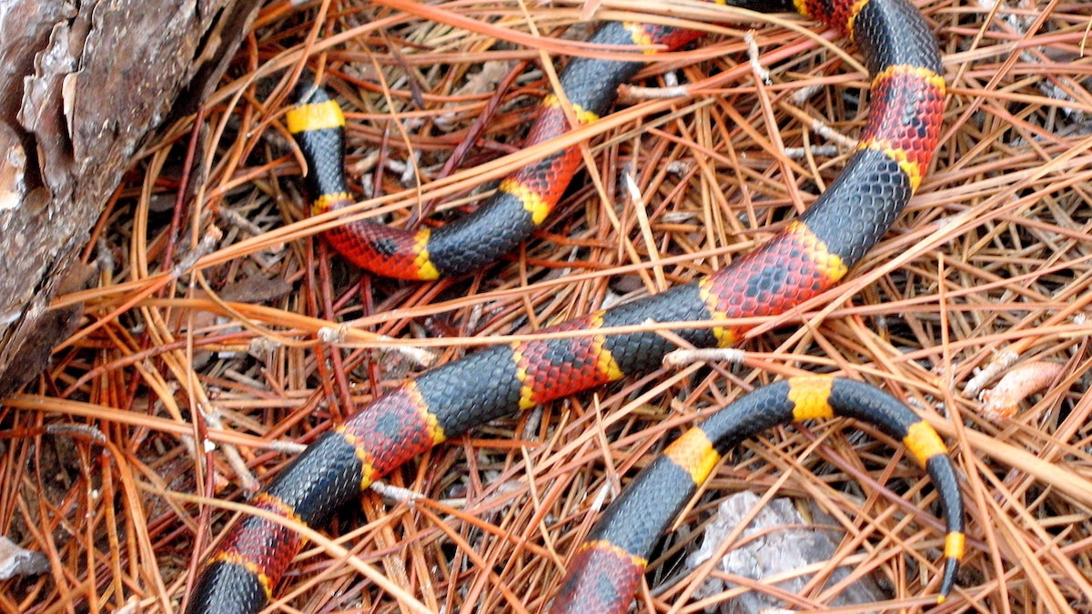 Fact Checker: Is the Coral Snake Poem Accurate?