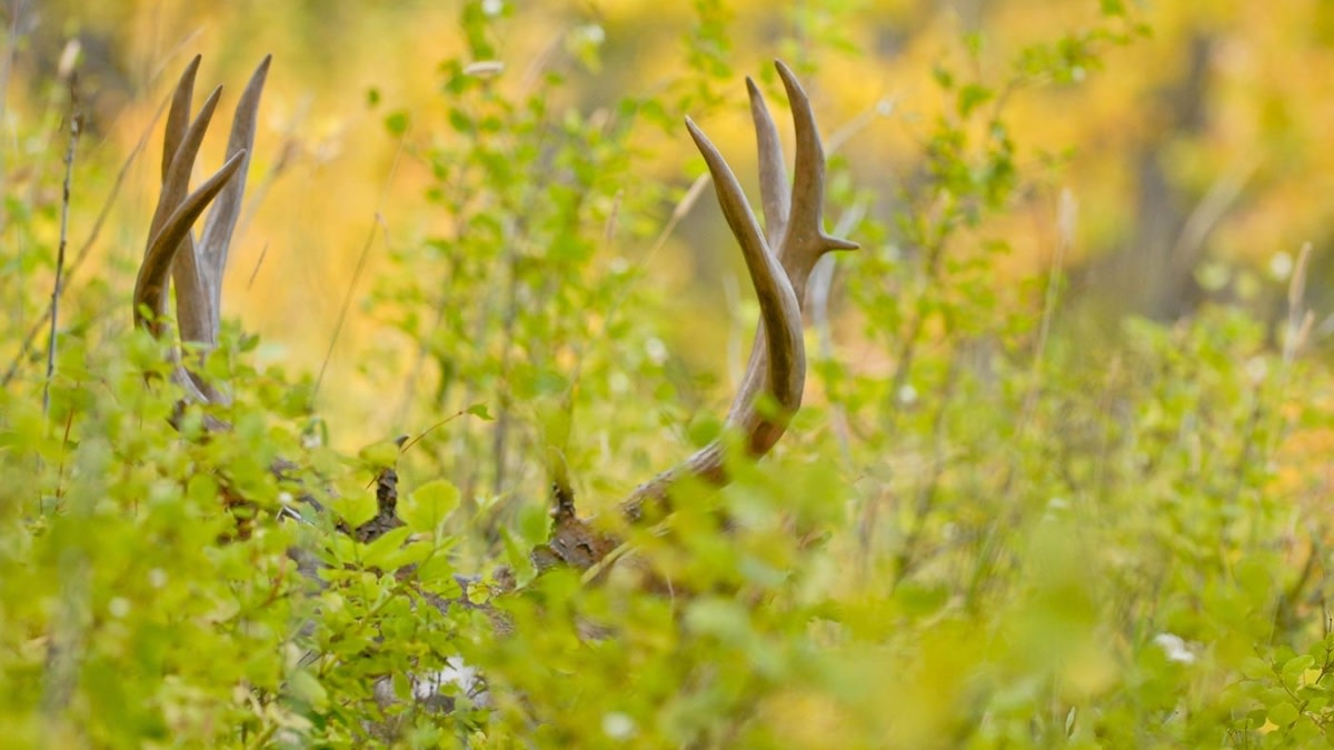 How Often do Whitetail and Mule Deer Hybridize?