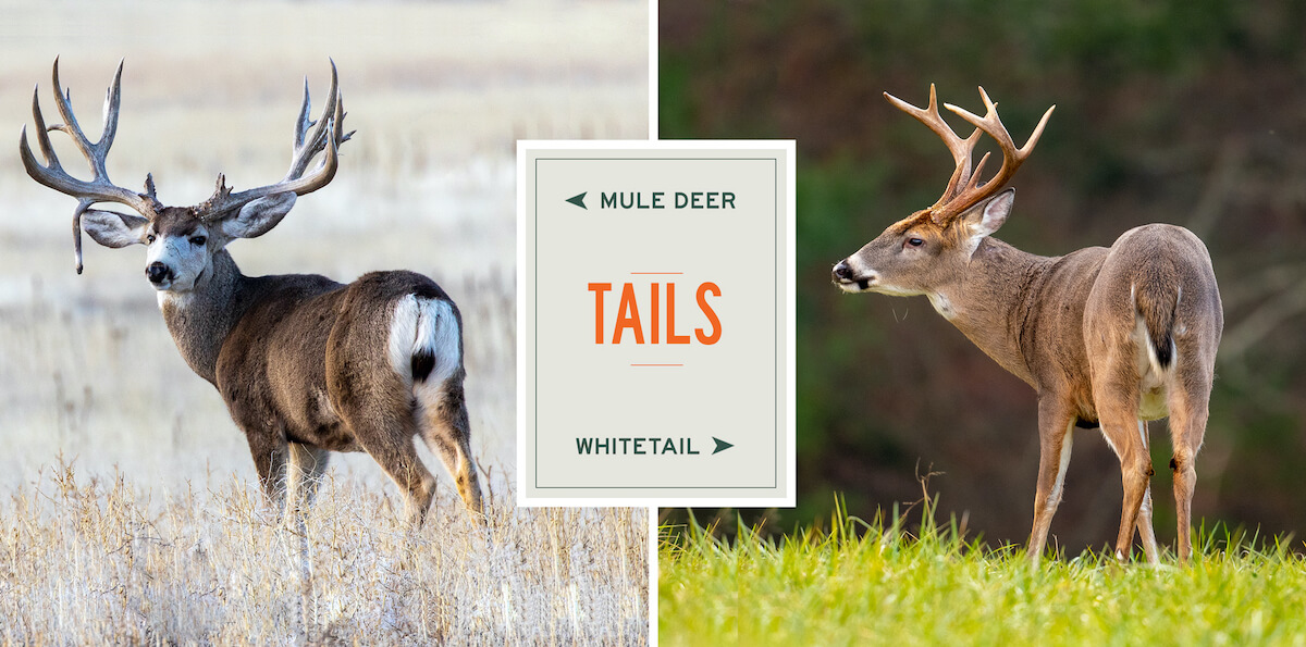 mule-deer-vs-whitetails-tails