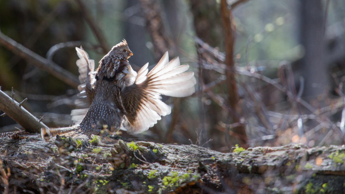 The Demise of Ruffed Grouse Hunting