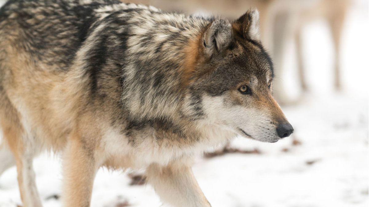 USFWS Recommends Delisting Gray Wolves