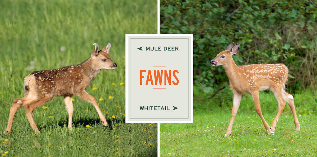 mule-deer-vs-whitetail-fawns