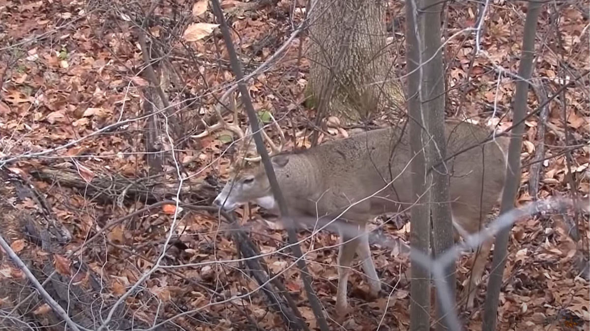 Video: Rutting Buck Makes Crazy Vocalizations