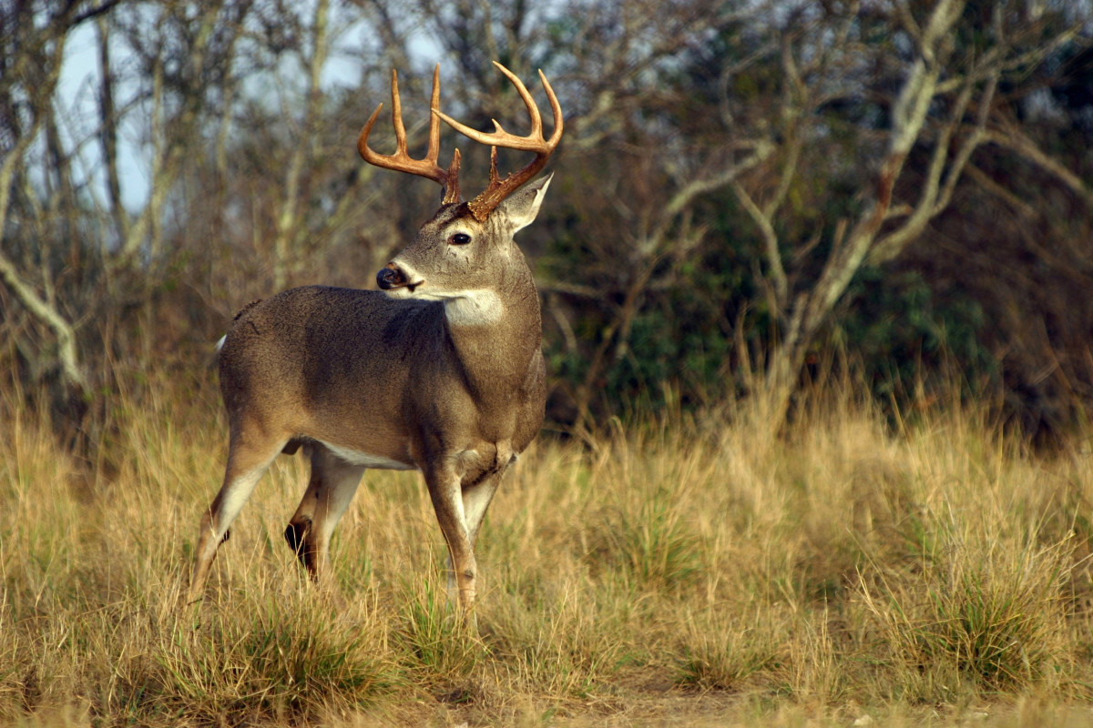 Deer Vision: How Whitetails See Color, Light, and Movement