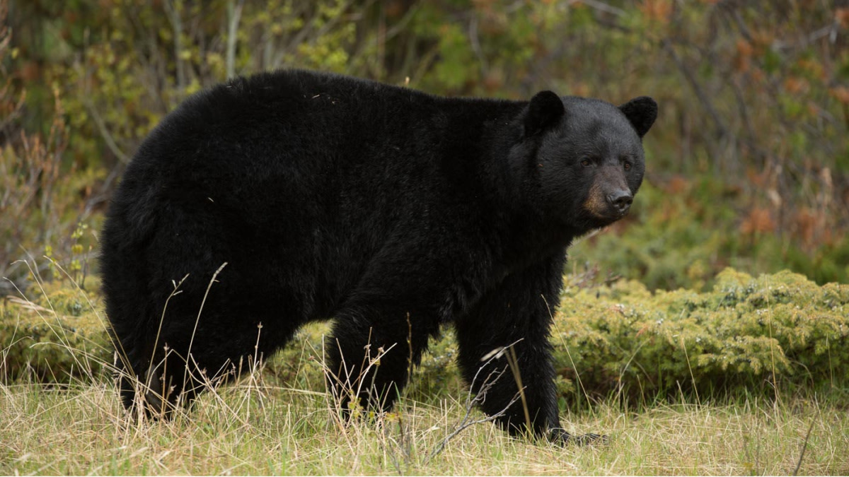 Everything You Need to Know About Black Bear Shot Placement