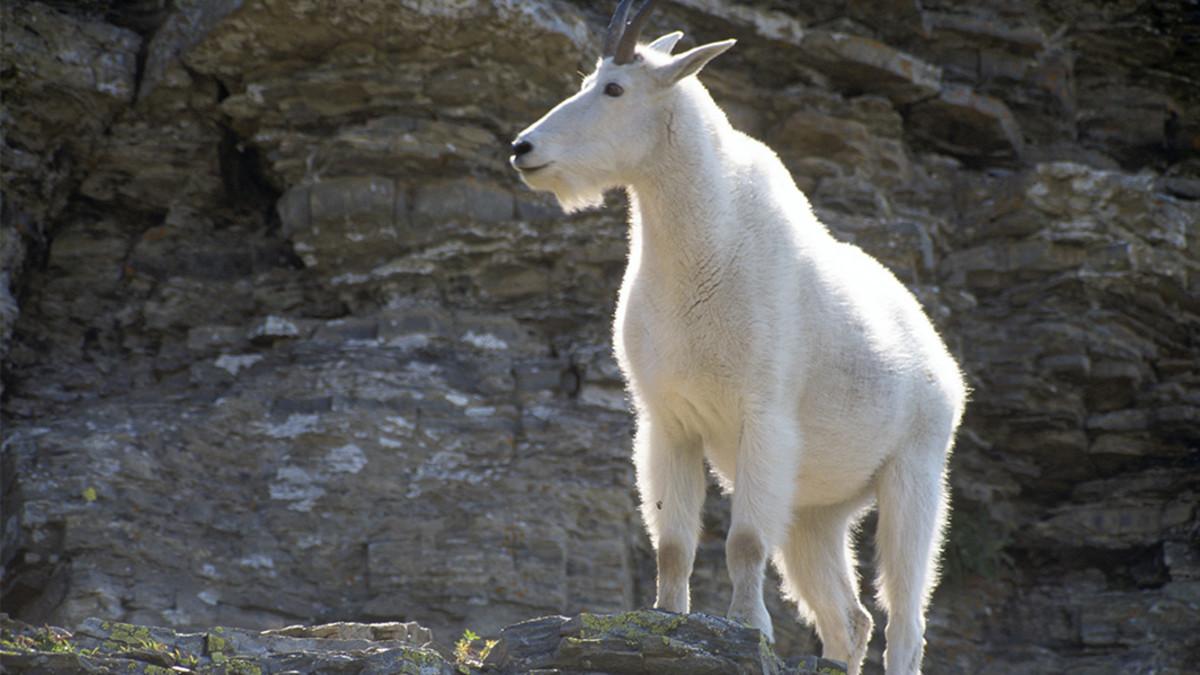 Hunting Mountain Goats