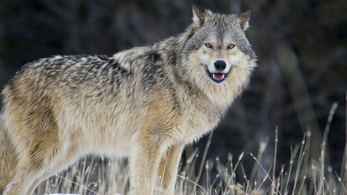 Idaho Passes Bill to Kill 90% of Wolves