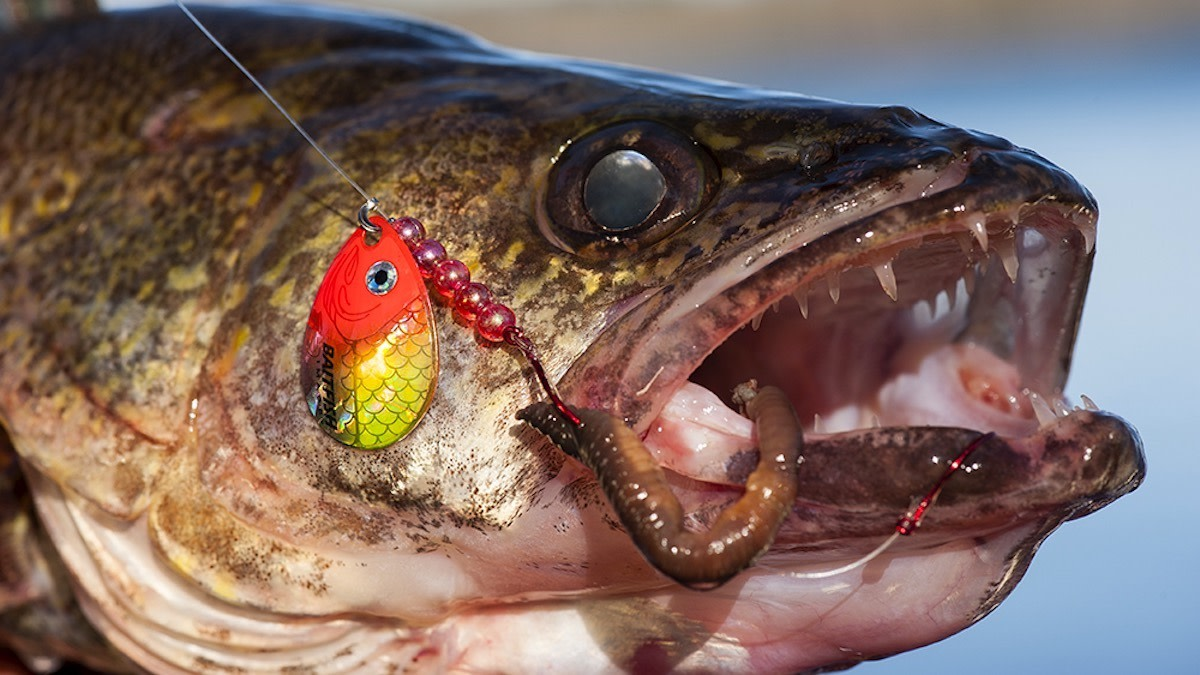 How to Catch Spawning Walleye